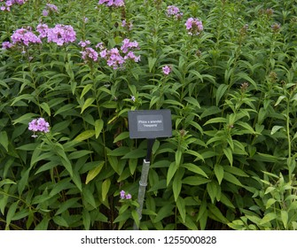 Botanical Identification Label for Phlox x arendsii 'Hesperis' (Garden Phlox) in a Herbaceous Border in a Country Cottage Garden in Rural Devon, England, UK