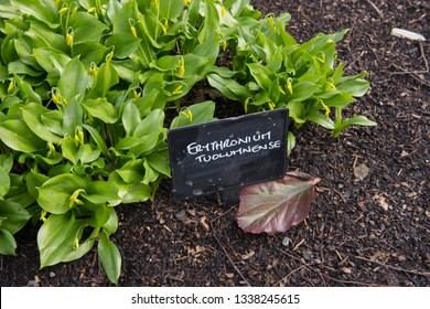 Botanical Identification Sign for Erythronium tuolumnense (Tuolumne Dog's Tooth Violet) in a Shady Woodland Garden in Rural Cheshire, England, UK