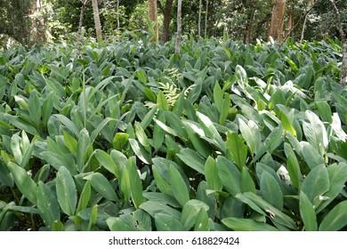 Botanical Name: Curcuma Zedoaria Family: Zingiberaceae Common Name: Round zedoaria Uses: Anti-inflammatory,antioxidant and an anti-Periodic, digestive disorders, including ulcers and  indigestion