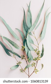 Botanical print, eucalyptus branch closeup pink paper background