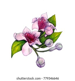 Botanical watercolor illustration of the inflorescence of figs in the style of realism