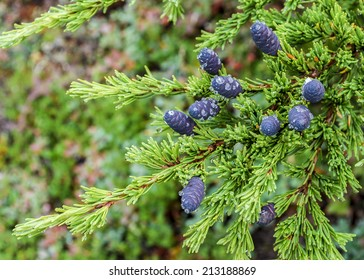 Both dew and sap cling to purple hemlock cones in Anchorage, Alaska.