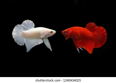 Both of Fancy Betta frighten with dark background. Battle of White Platinum Betta and Super Red Betta. Both of fighting fishes.