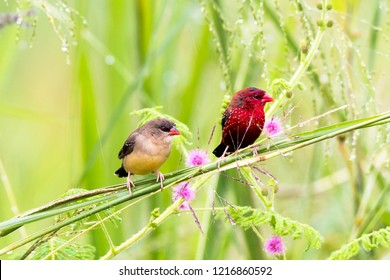 Both male and female the Red Avadavat (Strawberry Finch) with the sensitive plant flower
