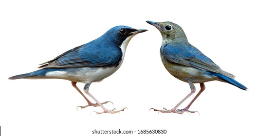 Both male and female Siberian blue robin (Larvivora cyane) beautiful blue and white with pale grey bird isolated on white background