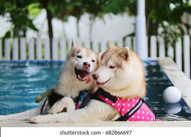 Both of Siberian Husky play together in swimming pool, Dog swimming