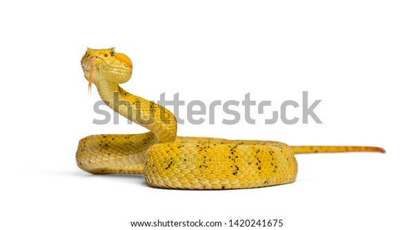 Bothriechis schlegelii, Bothriechis schlegelii, the eyelash viper, is a venomous pit viper looking at camera against white background