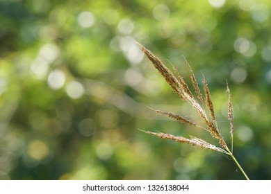 Bothriochloa ischaemum or Indian gooseberry plant, King ranch bluestem