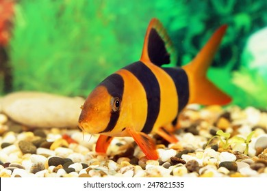 Botia macracantha. Aquarian small fish close up