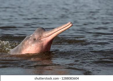 Boto Amazon River Dolphin