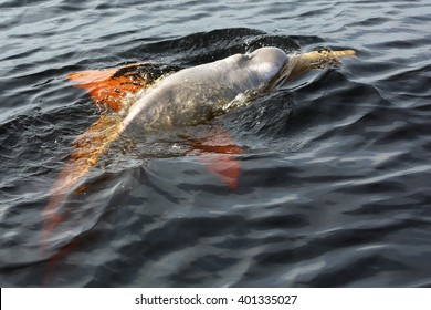 A Boto Dolphin (or Pink River Dolphin) swims in dark waters of Rio Negro, Brazil.