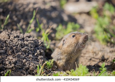 Botta's Pocket Gopher (Thomomys bottae) peeking over the burrow. Santa Clara County, California, USA.