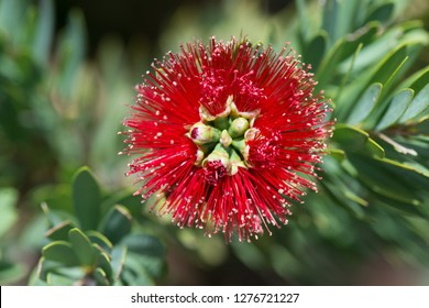 Bottle Brush Red flower from the Red Desert Australia
