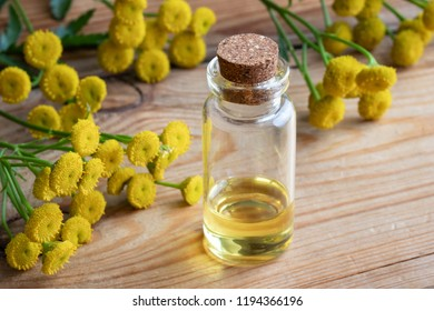 A bottle of common tansy essential oil with fresh blooming Tanacetum vulgare plant