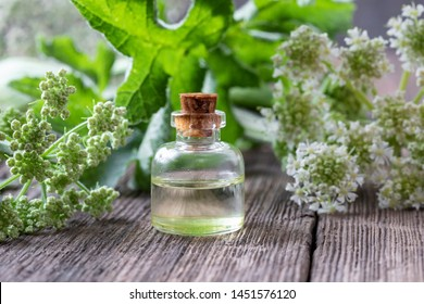 A bottle of essential oil with fresh blooming Angelica archangelica plant