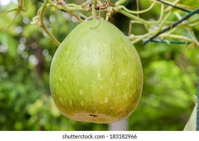 Bottle gourd, Calabash gourd or Flowered gourd (Lagenaria siceraia).