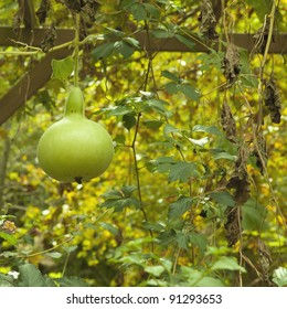 Bottle Gourd hanging from the Tree