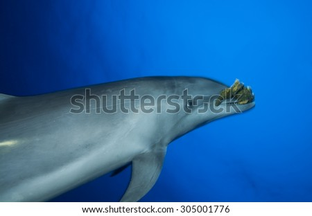 BOTTLE NOSE DOLPHIN SWIMMING FAST AND PLAY WITH SPONGE