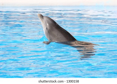 Bottle Nosed Dolphin at Loro Parque