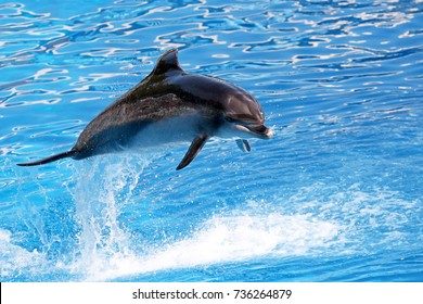 Bottle nosed dolphin performing jumps, blue water background