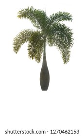 Bottle Palm Tree,Palm on a white background,Coconut plants in Asia