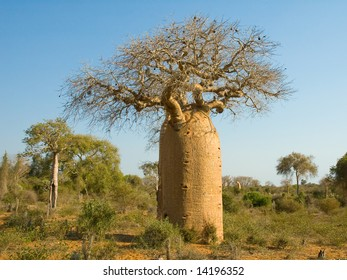 Bottle shaped Baobab tree.  Reniala Arboretum, Ifaty, Madagascar.