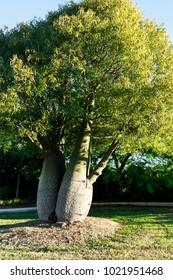 The bottle tree, Brachychiton rupestris, is a drought deciduous succulent tree native to Queensland, Australia
