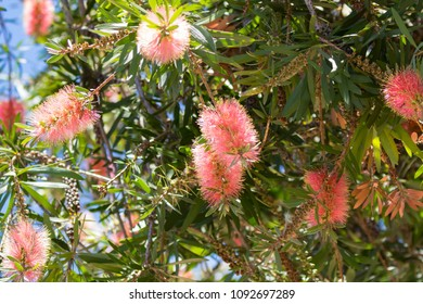 Bottlebrush flower (Callistemon) in pink Champagne shade with gold tips growing in Western Australia