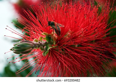 Bottlebrush - red fluffy bush flower in blooming at sun spring day with the bee inside. Macro shot