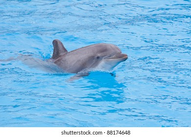 Bottlenose dolphin in the aquarium