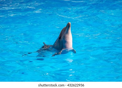 Bottlenose dolphin in blue pool water.