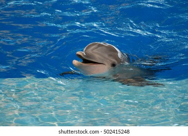 Bottlenose dolphin with his mouth open so that you can see his teeth.