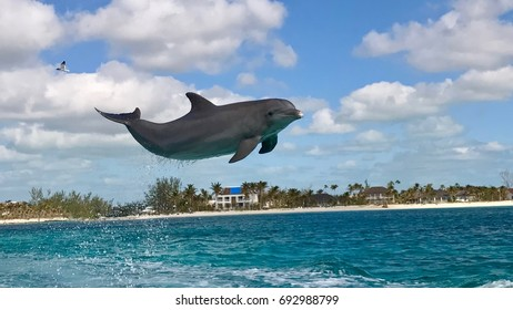 Bottlenose dolphin jumping off the coast of Freeport, Bahamas