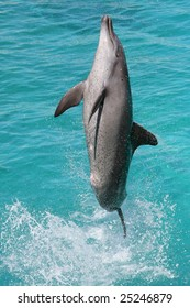 Bottlenose dolphin leaping high out of the blue water