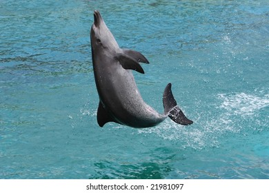 Bottlenose dolphin leaping out of the water to land on it's back