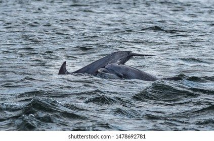 Bottlenose Dolphin In The Moray Firth At Chanonry Point Near Inverness In Scotland