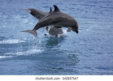 Bottlenose Dolphin in the ocean of Palawan