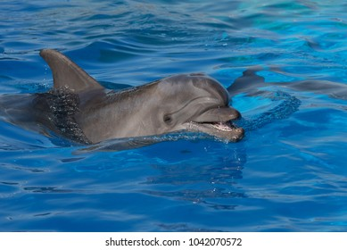 A bottlenose dolphin opens its mouth