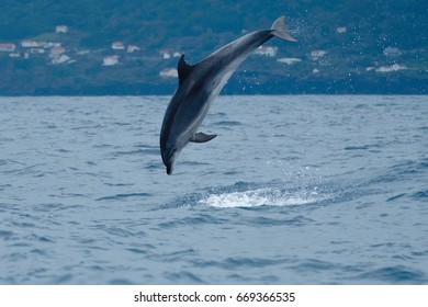 Bottlenose dolphin performing tricks for his own pleasure, in the Atlantic Ocean near the Azores.