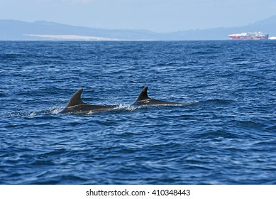 bottlenose dolphin. Picture taken from whale watching cruise in Strait of Gibraltar