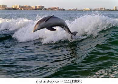 A bottlenose dolphin playfully leaps from the turbulent waters in the wake of a tugboat in Clearwater Bay with Clearwater, Florida buildings in the background