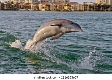 A bottlenose dolphin playfully leaps from the turbulent waters in the wake of a tugboat in Clearwater Bay, Florida with buildings in the background
