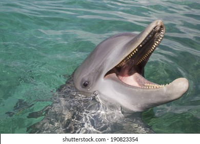 Bottlenose dolphin playing in the aqua Caribbean waters in Honduras, Roatan Island
