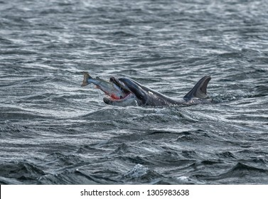 Bottlenose Dolphin Swallows A Catched Wild And Bloody Salmon At The Moray Firth Near Inverness In Scotland