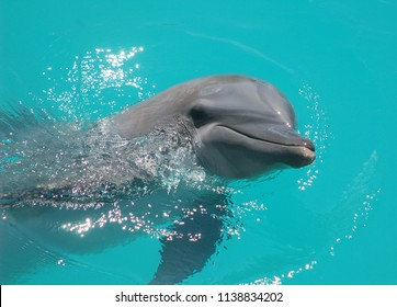 Bottlenose dolphin swimming face close-up