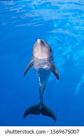 Bottlenose dolphin swims in the water.