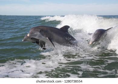 Bottlenose Dolphin (Tursiops truncatus)