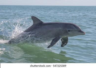 Bottlenose Dolphin - Tursiops truncatus