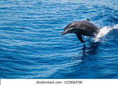 Bottlenose Dolphin (Tursiops truncatus) breaching the water, riding a wave.
