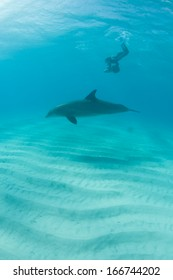 A Bottlenose dolphin (Tursiops truncatus) swims in the warm, clear waters of the Caribbean Sea. This species is very social and usually they live in groups of 10-30 members.